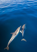 long-beaked common dolphins, Delphinus capensis, False Bay, Cape Town, South Africa