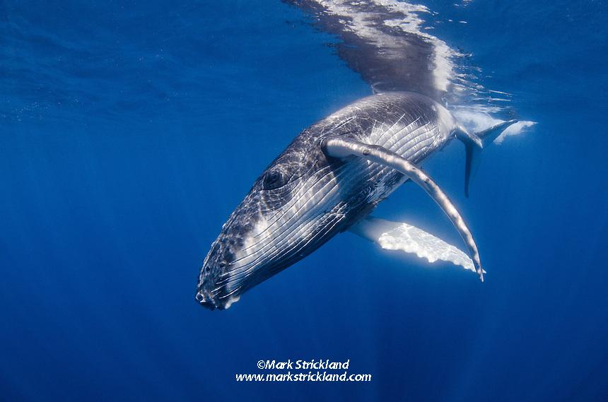 A playful Humpback Whale calf, Megaptera novaeanglae, makes a close pass. Ha'pai, Tonga, Pacific Ocean