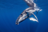 A playful Humpback Whale calf, Megaptera novaeanglae, makes a close pass. Ha'pai, Tonga, Pacific Ocean