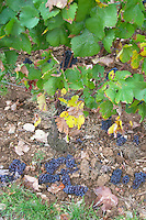 Green harvested grapes dumped on the ground. Pinot Noir. Clos des Langres, Domaine d'Ardhuy, Corgoloin, Cote de Nuits, d'Or, Burgundy, France