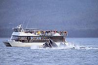 adult humpback whales, Megaptera novaeangliae, bubble net feeding near boat, Saginaw Channel, Alaska, USA, Pacific Ocean