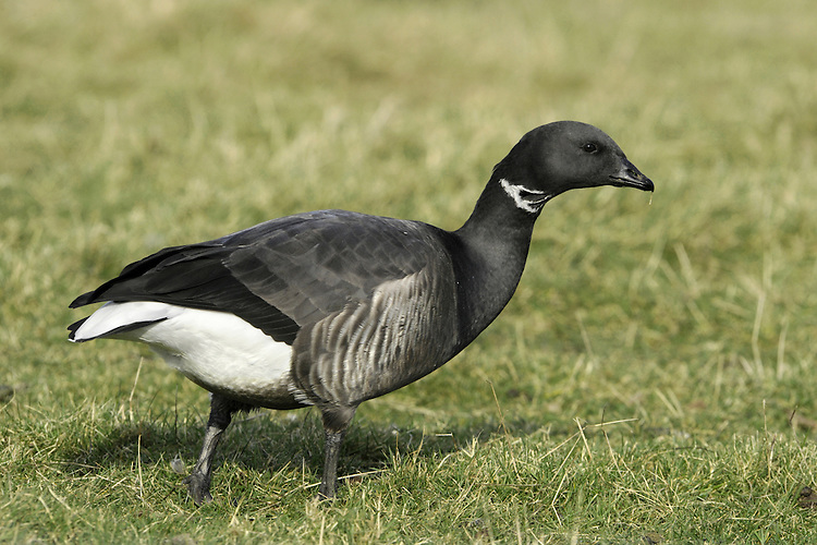 Brent Goose Branta bernicla L 56-61cm. Our smallest goose – similar size to Shelduck. Subtle plumage patterns allow separation of two subspecies that winter here: Pale-bellied Brent B.b.hrota (breeds on Svalbard and Greenland) and Dark-bellied Brent B.b.bernicla (breeds in Russia). Seen in sizeable and noisy flocks. In flight, looks dark except for white rear end. All birds have a black bill and black legs. Sexes are similar. Adult Pale-bellied has blackish head, neck and breast; side of neck has narrow band of white feathers. Note neat division between dark breast and pale grey-buff belly. Back is uniform dark brownish grey. Adult Dark-bellied is similar but belly is darker and flanks are paler. Juveniles are similar to respective adults but note pale feather margins on back and absence of white markings on side of neck; white on neck is acquired in New Year. Voice Very vocal, uttering a nasal krrrut. Status Winter visitor to coasts.