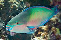 Male Whitespot Parrotfish, Scarus forsteni, Keruo Channel dive site, Keruo Island, Near Penemu Island, Raja Ampat (4 Kings), West Papua, Indonesia, Indian Ocean