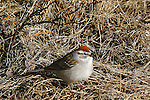 SPARROW; chipping sparrow