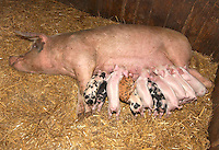 Piglets and sow on straw.