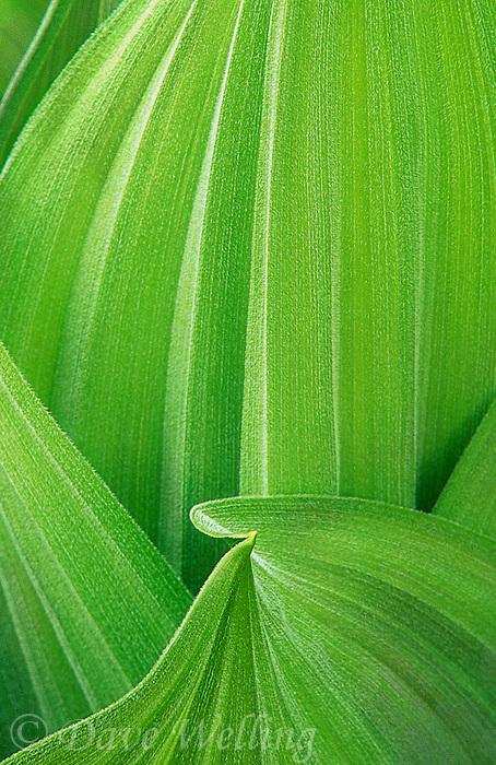 150630008 leaf detail of a wild corn lily plant veratum californicum in yosemite national park california
