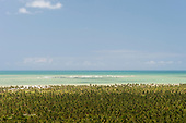 Alagoas State, Brazil. Mirante da Praia do Gunga. Commercial coconut palm plantations by the sea, high view.