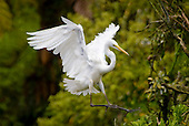 A White Heron or Kotuku  comes into land at the Waitangi Roto Nature Reserve,Westland District, West Coast, South Island, New Zealand.