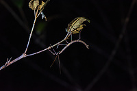 Africa, Madagascar, Andasibe. VOIMMA reserve.  Stick insect on a branch at night.
