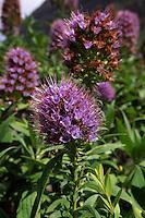 Portugal, Madeira, Blüte des Natternkopf (endemisch auf Madeira)