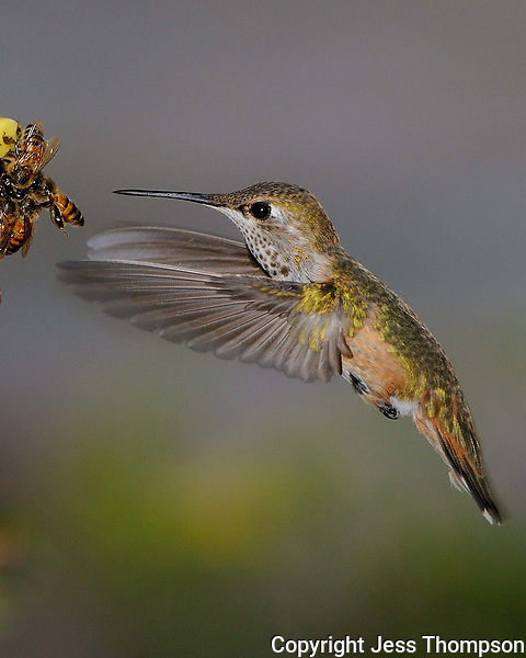 Hummingbird heads to feeder covered with bees.