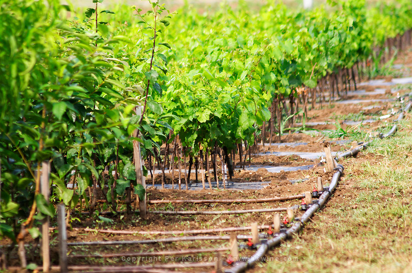 Rows of young vines. Fidal vine nursery and winery, Zejmen, Lezhe. Albania, Balkan, Europe.
