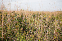 Snapper Prairie Preserve in autumn with native medow grasses Wisconsin, meadow