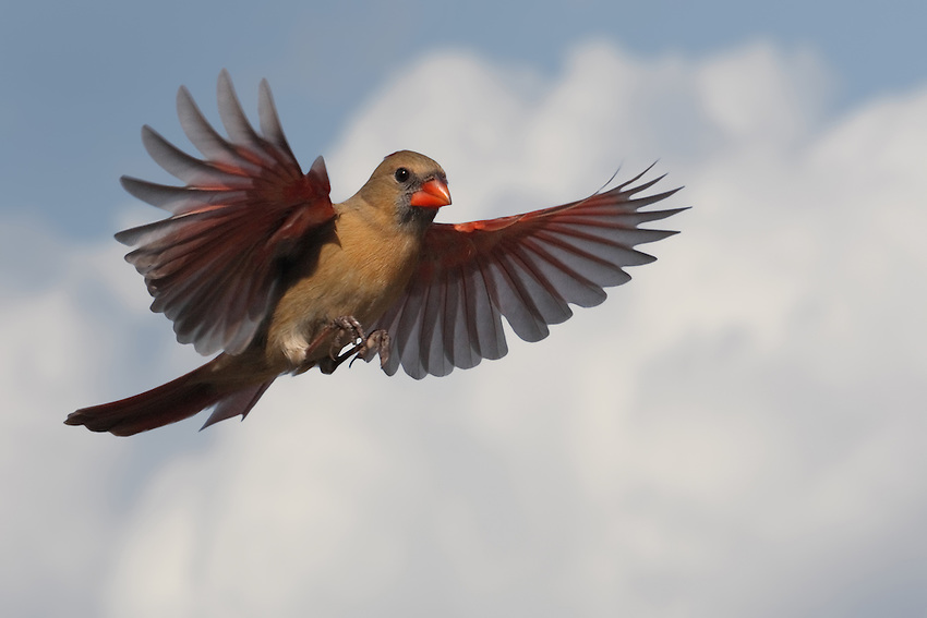 Northern Cardinal female with clouded background. L'Image Magazine - Nature & Wildlife Edition.