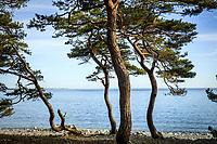 Krokiga tallar vid Torö havsstrand i Stockholms skärgård