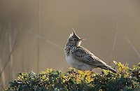 Crested Lark, Galerida cristata, adult, Samos, Greek Island, Greece, Europe