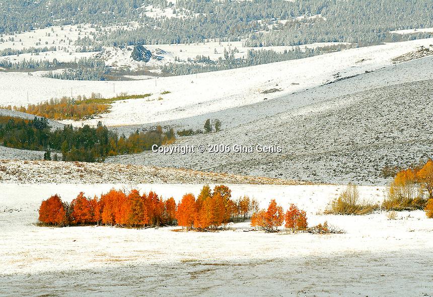 Golden and orange aspen grove nestled in the foothills of the snowy Sierra Nevadas