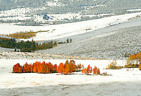 Golden and orange aspen grove nestled in the foothills of the snowy Sierra Nevadas