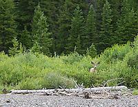 A mule deer near Soda Butte Creek in Silver Gate, MT.