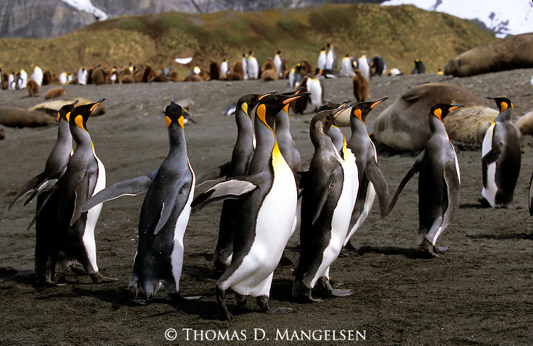 King penguins walking on the beach in Gold Harbour on South Georgia Island.