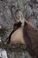 Chamois buck in the snow eating grass from a bush on a rock