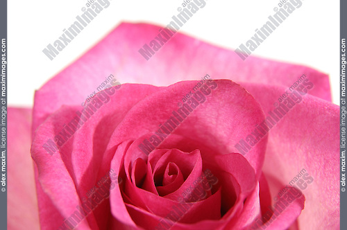 Beautiful pink rose closeup of a flower Isolated on white background