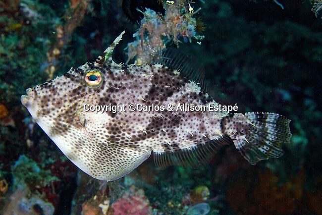 Pseudomonacanthus macrurus, Strapweed filefish, Lembeh, Indonesia