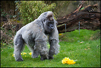 BNPS.co.uk (01202 558833)<br /> Pic: PhilYeomans/BNPS<br /> <br /> He might not look it - but Longleat's oldest resident is actually full of the joys of spring.<br /> <br /> Nico the gorilla's devoted keepers have given him a fresh bouquet of daffodils to signal spring's arrival - unfortunately the 180kgs western lowland silverback (Gorilla gorilla gorilla) proceeded to munch on the flowery gift, but at least he enjoyed them.<br /> <br /> Nico, at 55, is the second oldest gorilla in the world, but sadly in his long lifetime gorilla's have become critically endangered in the wild.  <br /> <br /> Despite his apparently grumpy expression, keepers at the Wiltshire safari park say Nico is actually extremely gentle and still very active &ndash; in spite of his advancing years.<br /> <br /> &ldquo;Although he is now a very old man, Nico is still extremely active and in amazingly good condition considering his age,&rdquo; said keeper Mark Tye.<br /> <br /> &ldquo;He was definitely intrigued by the bunch of daffodils, although he did initially throw them away, perhaps because he was hoping they were going to be bananas.