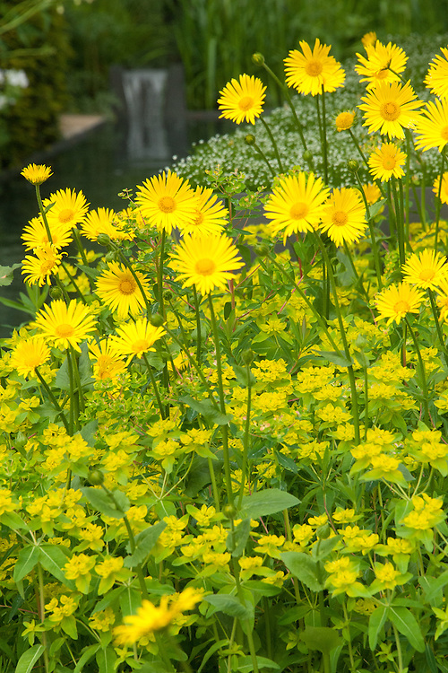Doronicum × excelsum 'Harpur Crewe' planted with Euphorbia, The Telegraph Garden, RHS Chelsea Flower Show 2015 designed by Marcus Barnett.