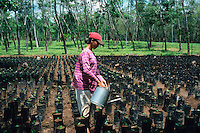 Indonesien Java Jember, Frau bewaessert Kaffee Setzlinge vor Kautschuk Plantage / Indonesia Java Jember, woman irrigate coffee samplings in front of rubber plantation
