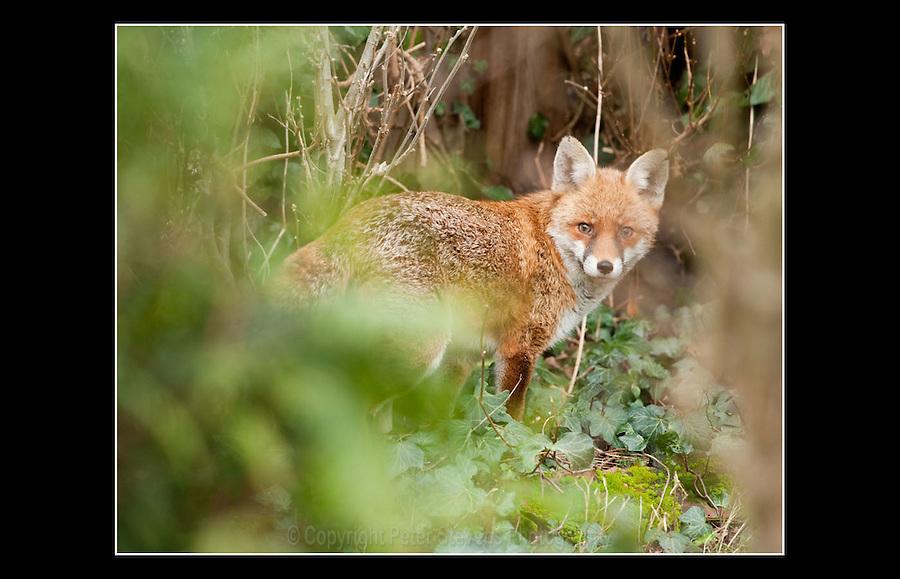 Red Fox (Vulpes vulpes) Acton, London - 5th January 2010