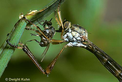 1D06-003a  Grass Fly - eating blackfly prey