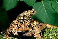 FR11-024x  American Toad - adult and young toads- Anaxyrus americanus, formerly Bufo americanus