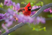 Male Northern Cardinal (Cardinalis cardinalis) in redbud tree.  Spring.