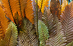 USA, Hawaii, Big Island, ferns