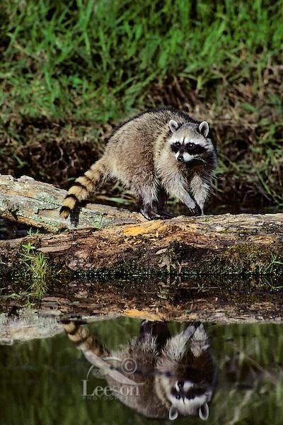Raccoon (Procyon lotor).  Pacific Northwest.  Spring.