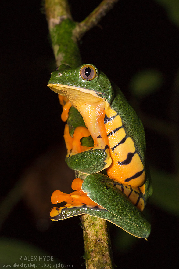Splendid Leaf Frog {Cruziohyla calcarifer} in rainforest tree at night. Central Caribbean foothills, Costa Rica. May.