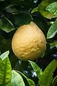 Pomelo (Citrus maxima syn. Citrus grandis) Isole di Brissago Botanic Garden, Ticino, Switzerland, late October.