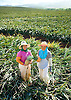 Two Maui Pineapple Company workers take a break from harvesting pineapples on land in the Kapalua area of Maui, Hawaii. Photo by Kevin J. Miyazaki/Redux