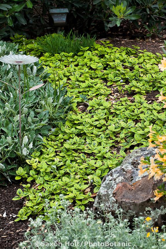 Variegated Carmel Creeper (Ceanothus griseus horizontalis 'Diamond Heights') evergreen groundcover shrub in California native plant garden with Buckwheat and Monkeyflower