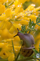 Snail enjoying a meal of leaves around yellow flowers in the rain