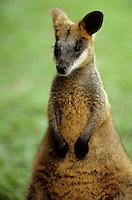 Océanie/Australie/Queensland/Kuranda: Kangourou