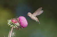 Black-chinned Hummingbird, Archilochus alexandri, female feeding from texas thistle, Hill Country, Texas, USA, April 2007