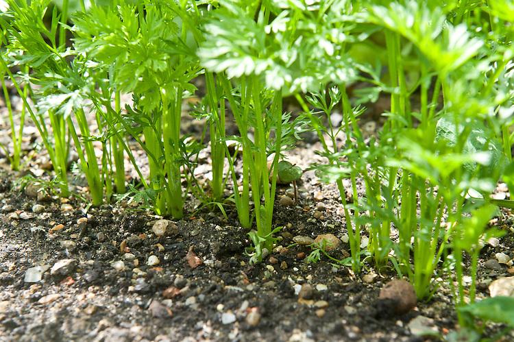 Carrot 'Resistafly', mid June. Seeds sown 9-10 weeks ago.