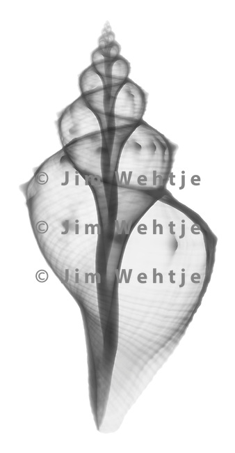 X-ray image of a tuba false fusus seashell (black on white) by Jim Wehtje, specialist in x-ray art and design images.