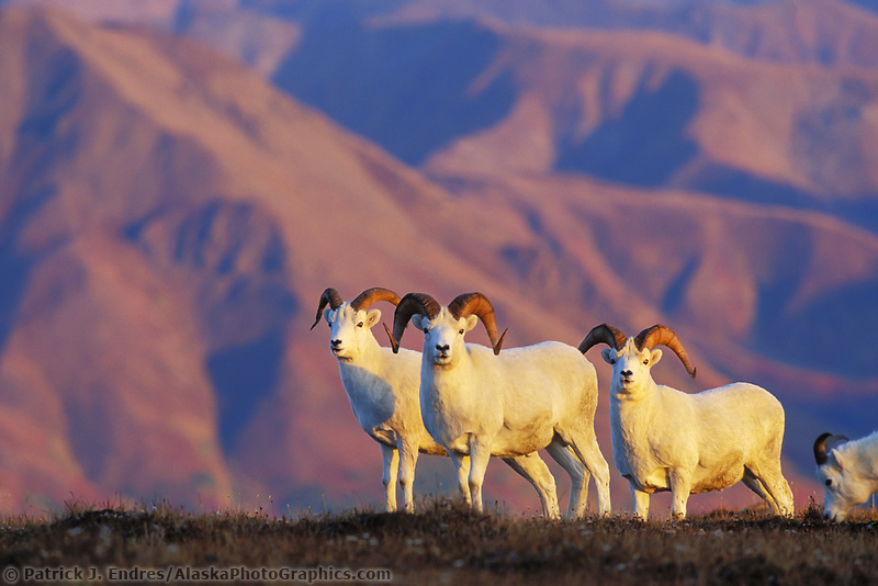 Dall sheep rams on top of a mountain ridge in the evening sun, Denali National Park, Alaska.