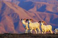 Dall sheep rams on top of a mountain ridge in the evening sun, Denali National Park, Alaska.