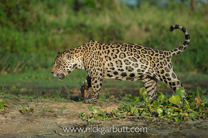 Wild male Jaguar (Panthera onca palustris) patrolling along the bank of the Cuiaba River in late afternoon sun light. Northern Pantanal, Brazil.