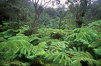Tree Fern Forest, Volcanoes National Park, Hawaii