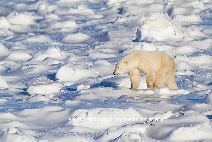 01874-13314 Polar Bear (Ursus maritimus) walking near Hudson Bay Churchill Wildlife Management Area Churchill MB